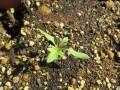 2年生 ミニトマトが大きくなってきましたか?
